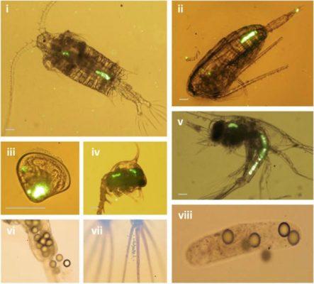 Plankton with Plastic Inside